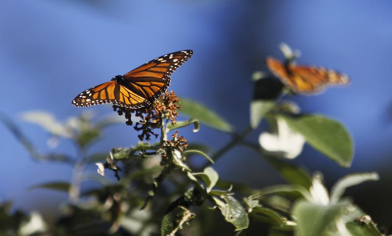Monarch butterflies cling to a plant at the Monarch Grove Sanctuary in Pacific Grove, California, December 30, 2014. Monarch butterflies may warrant U.S. Endangered Species Act protection because of farm-related habitat loss blamed for sharp declines in cross-country migrations of the orange-and-black insects, the U.S. Fish and Wildlife Service said. REUTERS/Michael Fiala (UNITED STATES - Tags: ANIMALS ENVIRONMENT POLITICS) - GM1EACV0KBS01