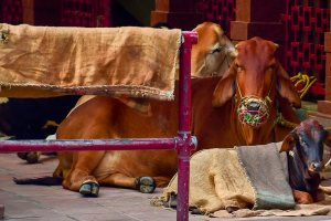New Delhi: A cow and her calf covered in jute sack on a cold, winter noon, in New Delhi, Sunday, Jan 27, 2019. (PTI Photo/Manvender Vashist) (PTI1_27_2019_000092B)
