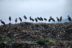 Guwahati: Greater Adjutant Storks seen on the top of a garbage-heap at Boragaon garbage dumping site, on the eve of World Environment Day, in Guwahati, Tuesday, June 4, 2019. The World Environment Day is observed every year on June 5, and the theme of this year is 'Air Pollution'. (PTI Photo)  (PTI6_4_2019_000062B) *** Local Caption ***