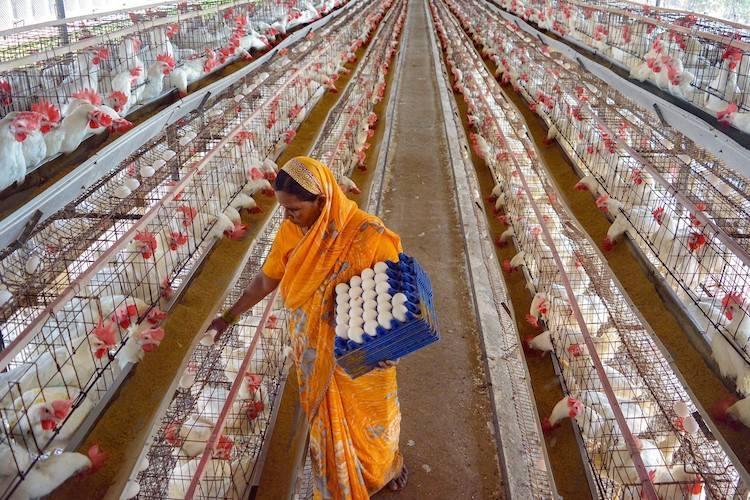 Poultry Farming PTI