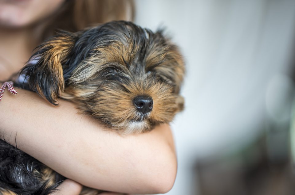 Little girl holding cute little puppy, yorkshire terrier.