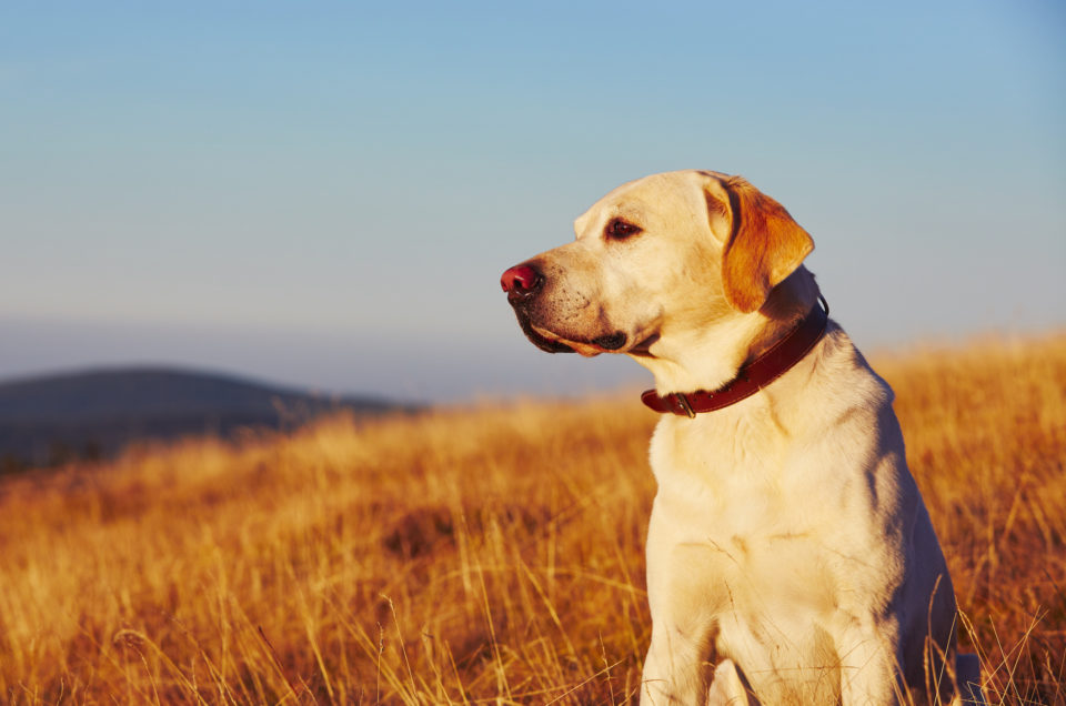 Yellow labrador retriever on the trip in mountains