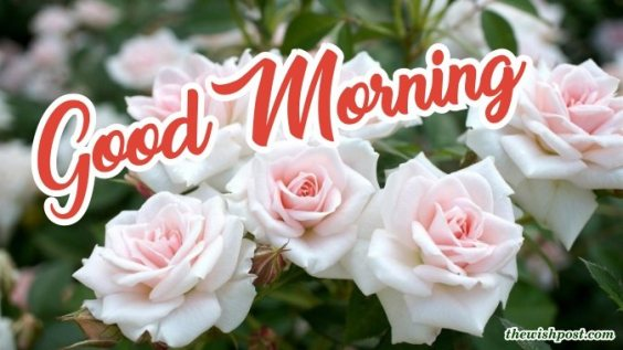best-good-morning-with-fresh-white-rose-flower-wallpaper-wishing-greeting-e-cards-pictures-Images-pics-photo-wishes-for-sharing-facebook-post-free-download