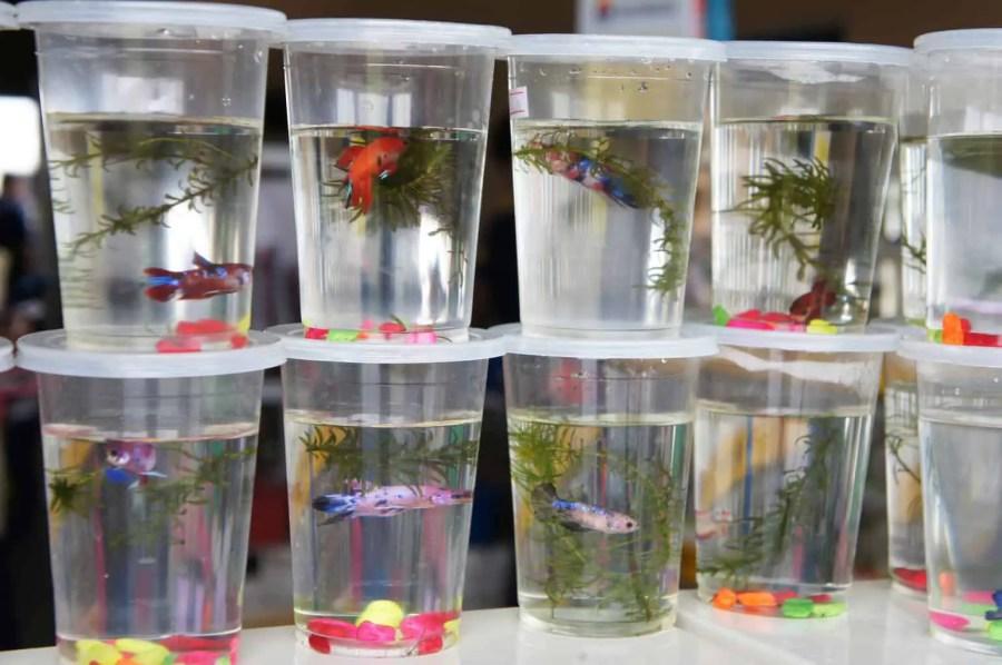 Choosing the best betta fish tank