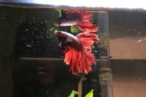 Red Betta Fish Eating Pellets