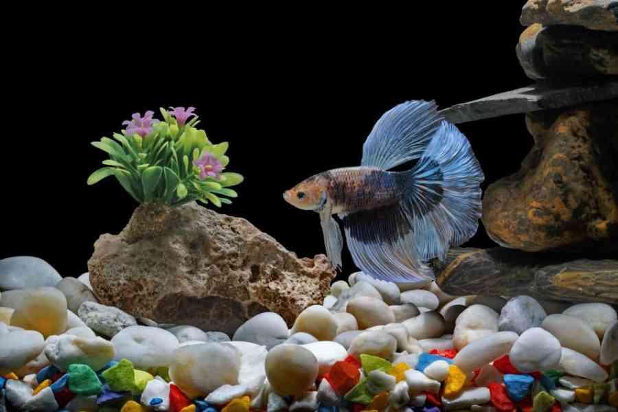 A male betta fish in an aquarium