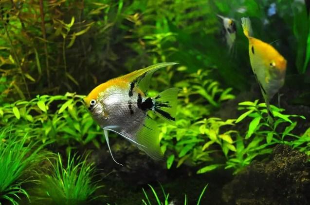 Angel fish in fertilized lush green planted aquarium