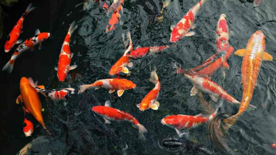 male and female koi fish in pond