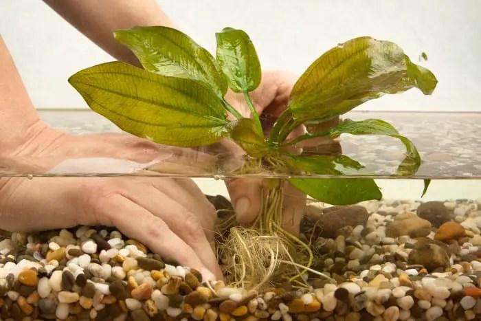 Planting a live aquarium plant in gravel