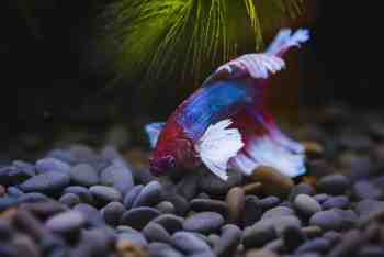 Betta fish in tank with black substrate