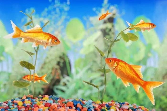 goldfish swimming around in a fishtank