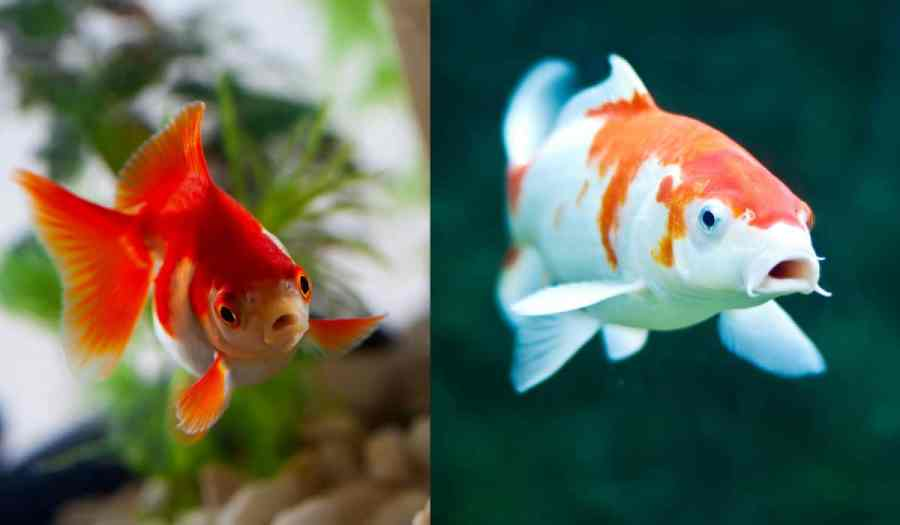 Goldfish side by side with a koi fish