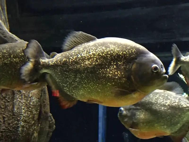 Red bellied piranha at arizona odysea aquarium