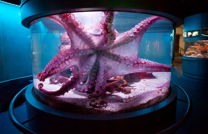 Giant Pacific Octopus in aquarium