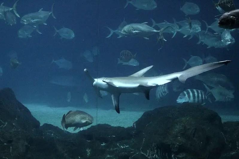 hammer head shark and fish swimming at aquarium at the New Jersey Adventure Aquarium
