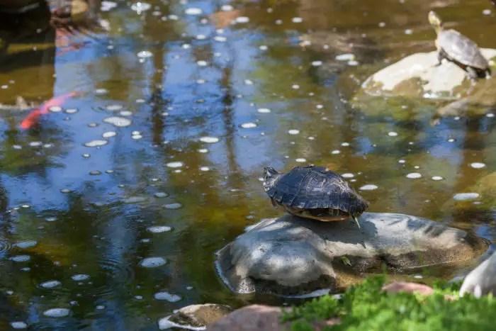 two turtles basking on rocks in a koi pond