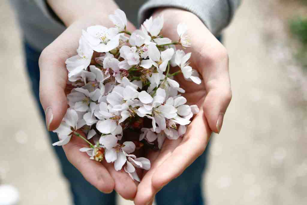 a handfull of cherry blossoms