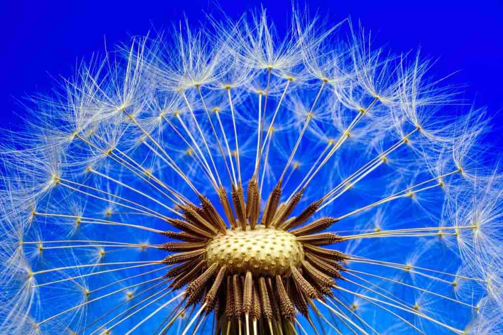 Dandelion seeds ready to fly!