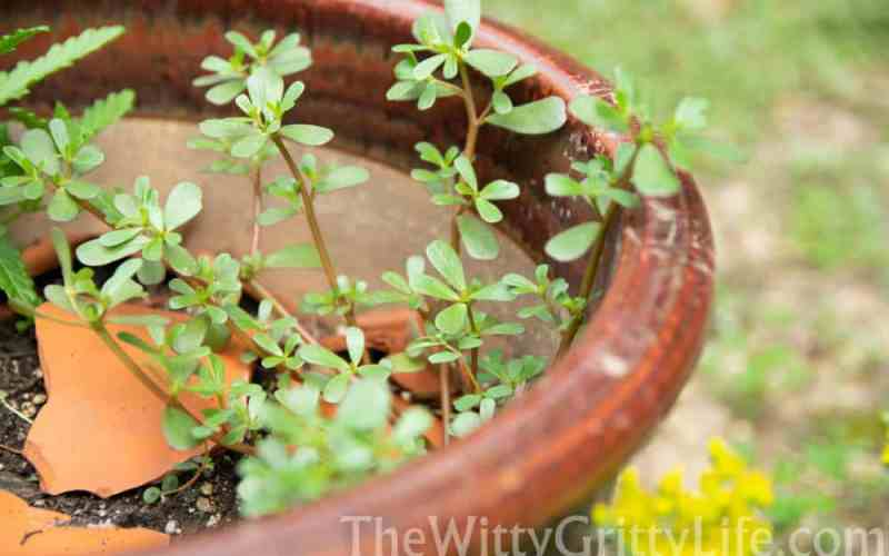 purslane growing in flower pot