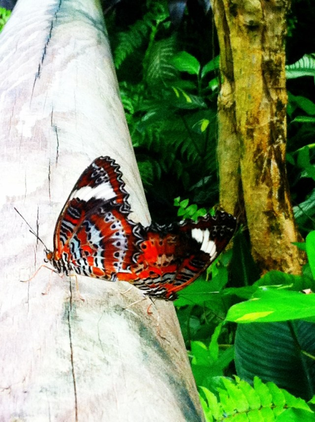 Cairns Butterfly