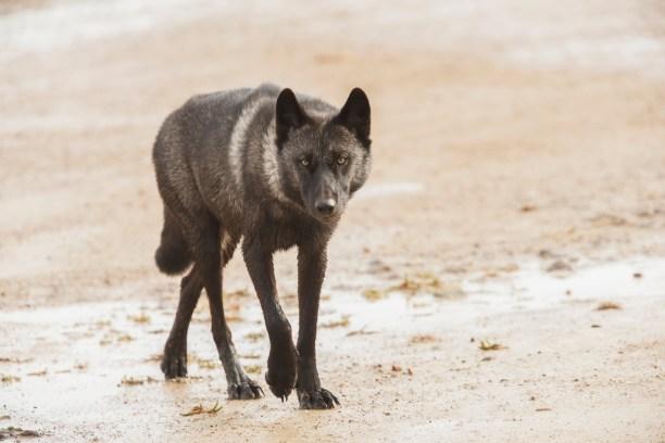 Hudson Bay Wolf , Coast of Hudson Bay Manitoba