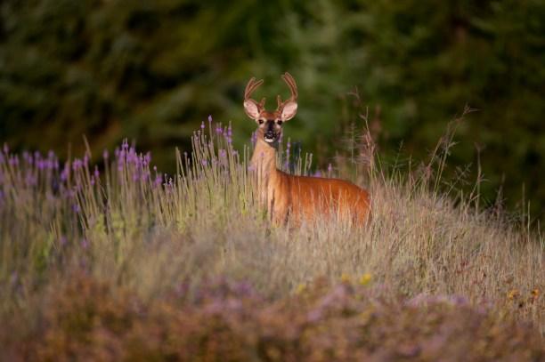 Whitetail Deer Buck (Odocoileus Virginianus), Minnesota, United States Of America