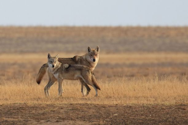 Steppe Wolf (Canis lupus campestris) Image from The Saiga Conservation Alliance