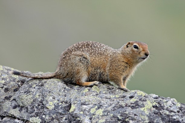 Arctic ground squirrel (Parka squirrel) (Citellus parryi), United States of America, North America