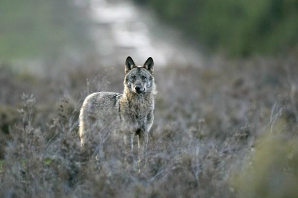 Iberian wolf (Canis lupus signatus), Sierra de La Culebra, Zamora, Spain