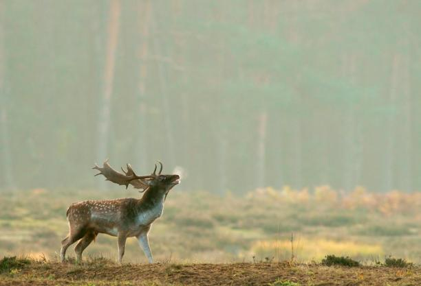 Fallow deer (Dama dama) Hesse, Germany, Europe