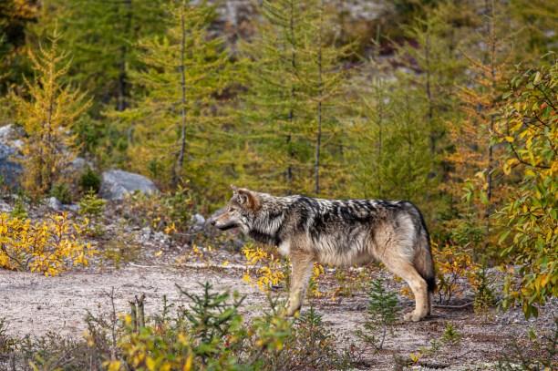 Labrador Wolf (Canis lupus labradorius) along the Trans-Labrador Highway, Labrador Canada