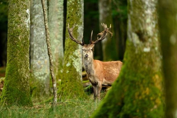 Red Deer (Cervus elaphas) France