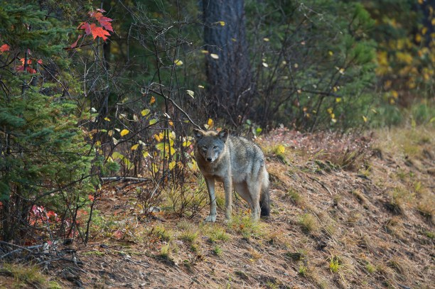 """Eastern Wolf """"Algonquin Wolf"""" (Canis lycaon, Canis lupus lycaon)) stands beside Highway 60 which runs through Algonquin Park; Ontario, Canada"""