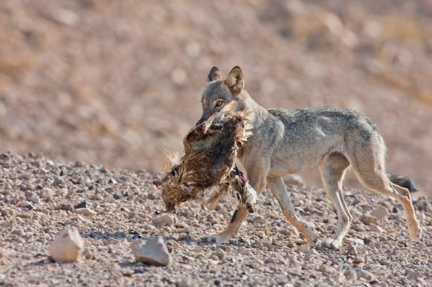 Arabian wolf (desert wolf Canis lupus arabs). Israel, Negev desert