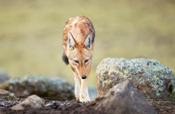 Close up of Ethiopian wolf (Canis simensis) in the highlands of Bale mountains, Ethiopia.