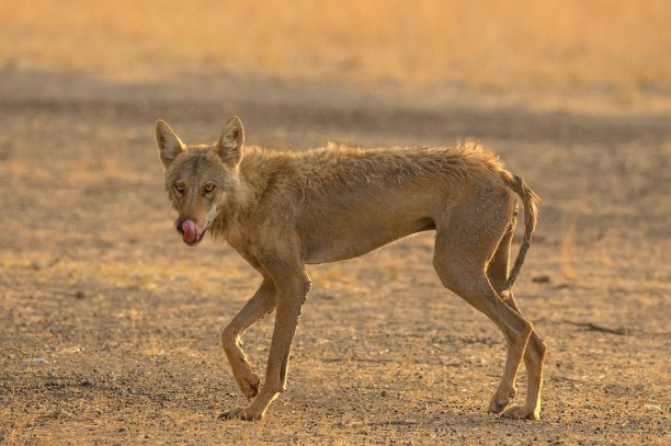 Indian wolf (Canis lupus pallipes) at Velavadar national park, Gujarat, India