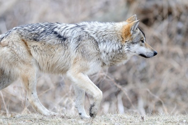 Mexican Gray Wolf (Canis lupus baileyi )
