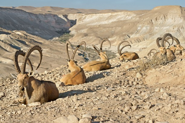 Old Nubian ibex (Capra nubiana sinaitica) in mountains in Negev desert of southern Israel