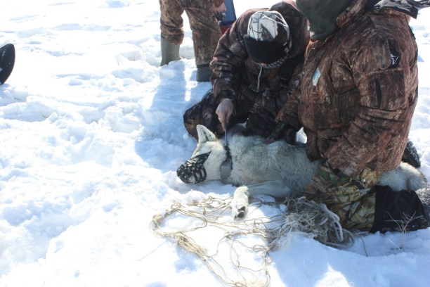 Biologists from Kazakhstan (ACBK), Altyn Dala Conservation Initiative collering a wolf.