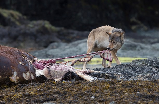 A wolf feeds on the dead carcass of a Stellar sea lion washed up on an island near Kyuquot, Vancouver Island, British Columbia, Canada