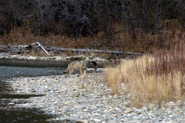 On shoreline of Fishing Branch River carrying a chum or dog salmon into woods. Yukon Terr