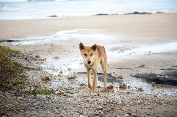 Wild dingo on beach, Fraser Island, Queensland, Australia