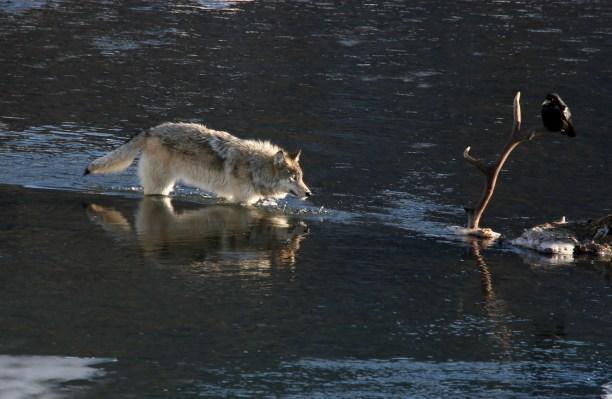Wolf approaching elk.