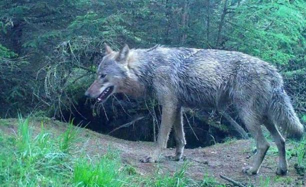 Wolf spotted repeatedly in Drenthe, 4 May 2018 Photo: Staatsbosbeheer