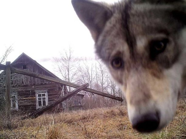 A wolf looks into a trail camera at the 19-mile (30-km) exclusion zone around the Chernobyl nuclear reactor in the abandoned village of Orevichi, Belarus.