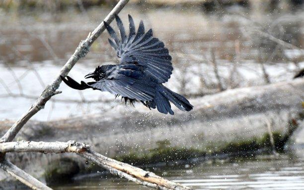 American crow (Corvus brachyrhynchos) Wolf Antoni thebratwurstking@gmail.com