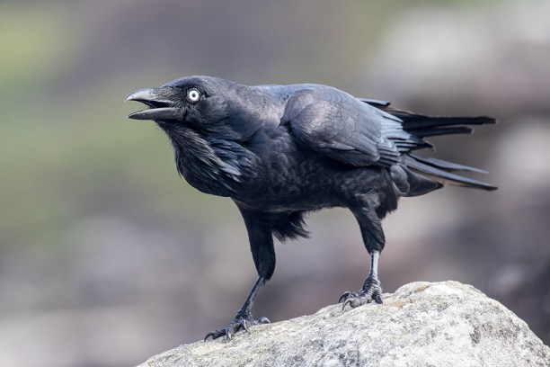 Australian Raven calling