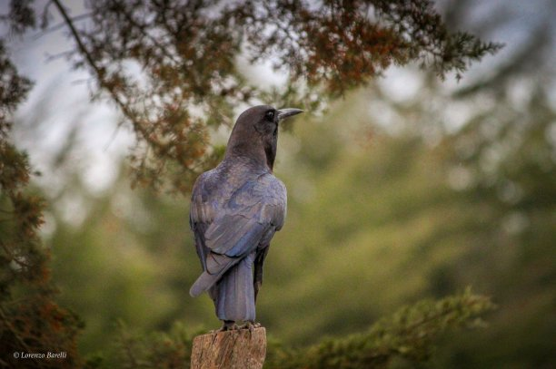 Cape crow or Cape rook (Corvus capensis) Lorenzo Barelli ! Bird photography safaris Kenya
