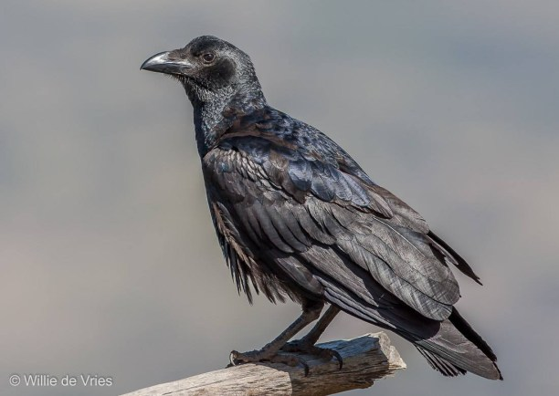 Corvus rhipidurus – fan-tailed raven
