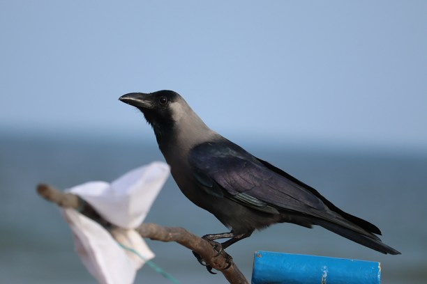 A FISH CROW ON THE BEACH, portrait of crow